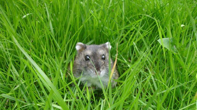 серый хомячок в траве