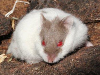 хомячок кэмпбелла с красными глазами