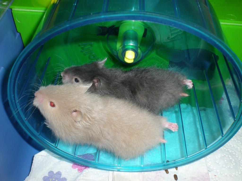 два хомяка в колесе