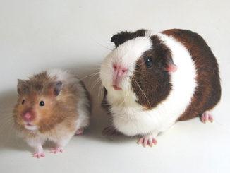Хомячок и свинка