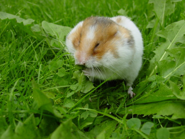 хомяк и вкусная трава