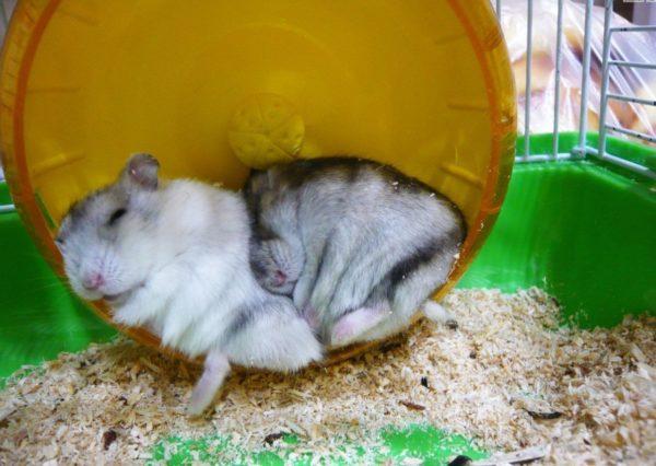 Хомяки спят в беговом колесе