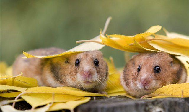 хомячки под листьями