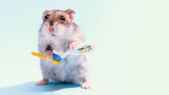 хомяк чистит зубы