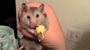 хомяк и картошка