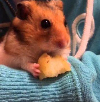хомяк с кусочком картошки