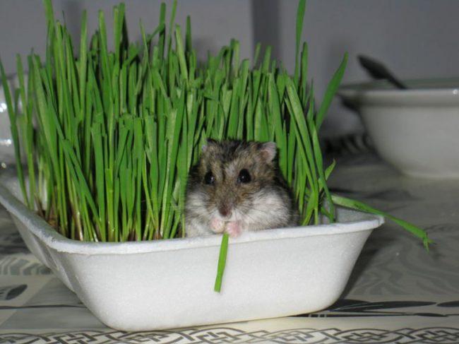 хомячок в траве