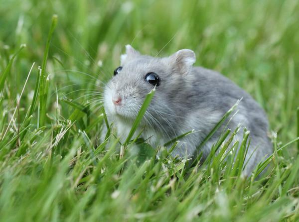 в траве хомяк