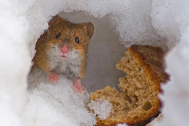 хомяк и хлеб