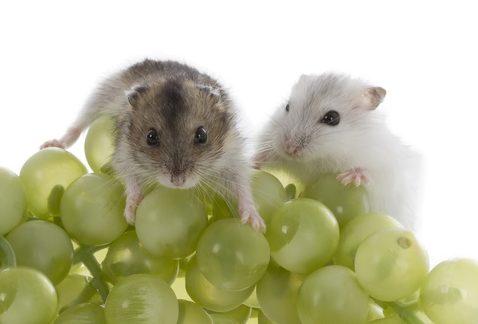 хомяки и виноград