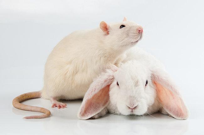 кролик и крыса