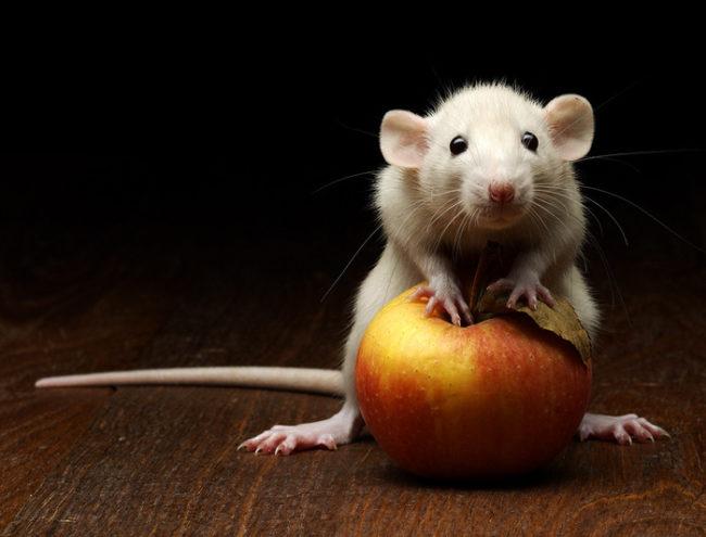 крыса белая