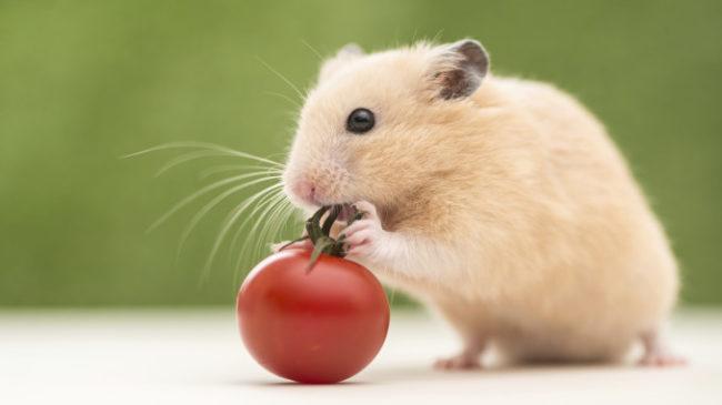 помидор и хомячок
