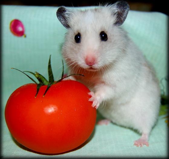 хомяк и помидор