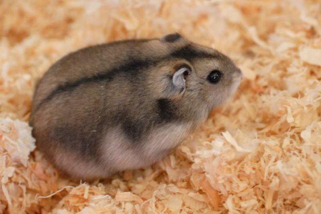 сибирский хомячок