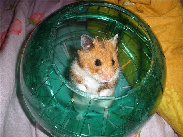 хомячок в шаре