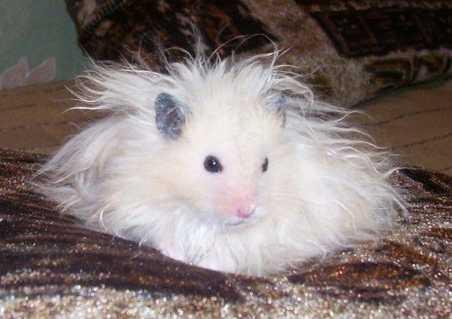 белый ангорский хомяк