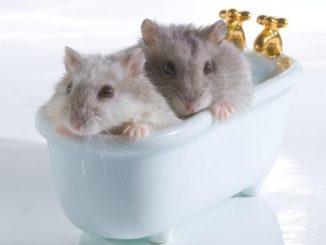 два хомячка моются