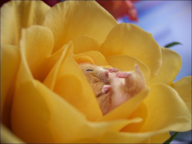 хомяк и цветок