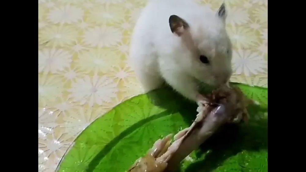 хомяк ест курицу