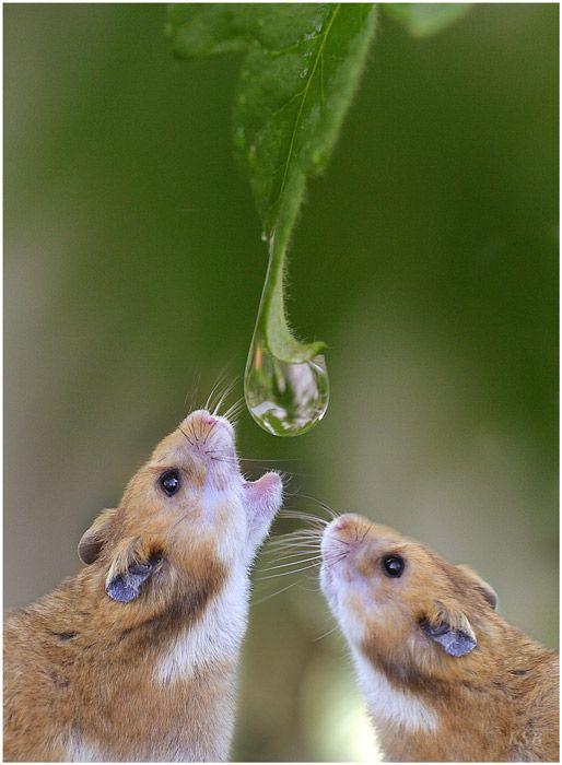 хомяки пьют в природе