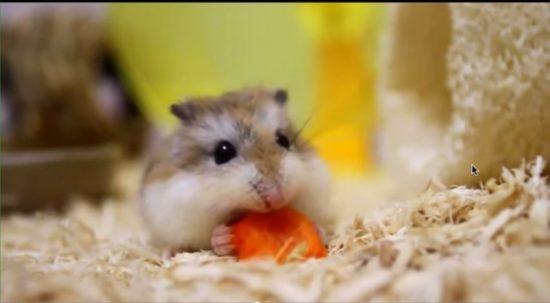 хомячок с морковкой