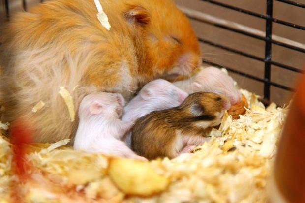 новорожденные хомячки через 1 неделю