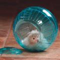 ангорский хомяк в шаре