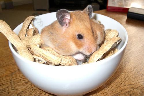 сирийский хомяк и орехи
