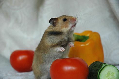 сирийский хомяк и овощи