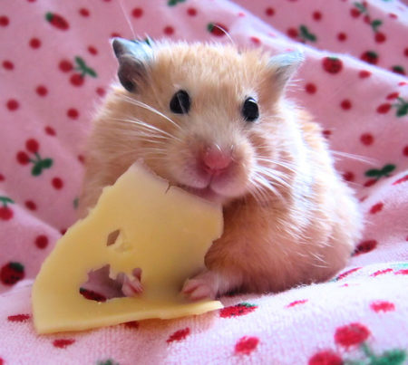 хомяк кушает сыр