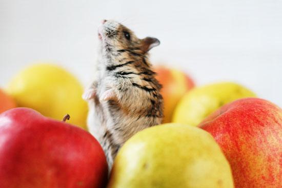 хомяк и яблоки