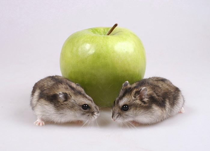 джунгарики с яблоком