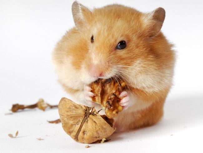 хомяк ест грецкий орех