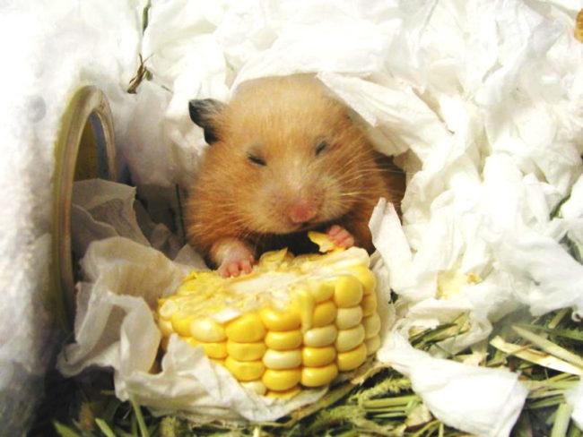 хомяк ест кукурузу