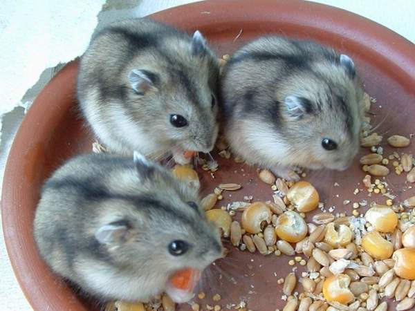 Малыши джунгарики едят зерновой корм