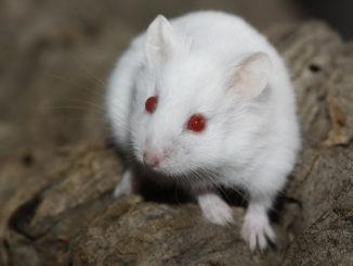хомяк альбинос