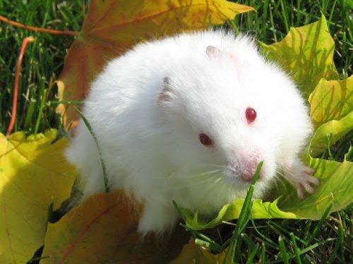 хомячок альбинос