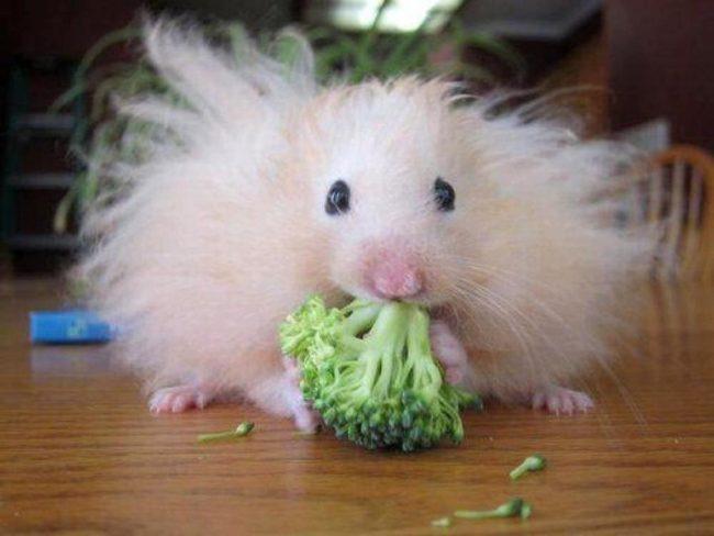забавный хомяк ест капусту