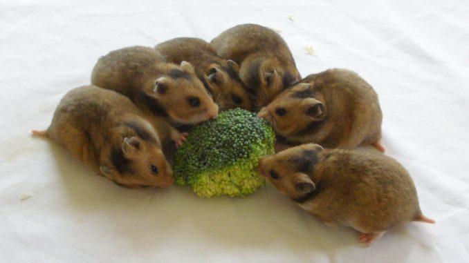 хомяки едят брокколи