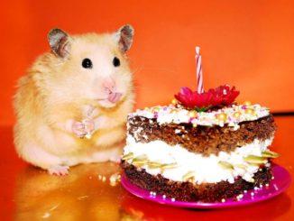 хомяк и торт
