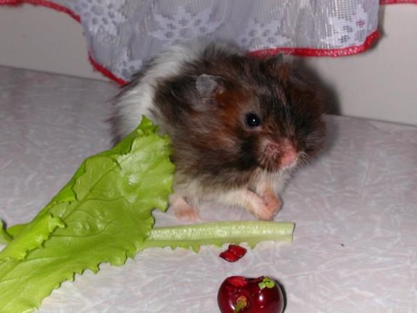 хомяк ест листья салата