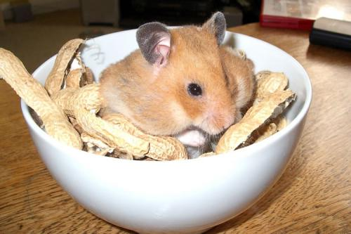 хомяк ест арахис