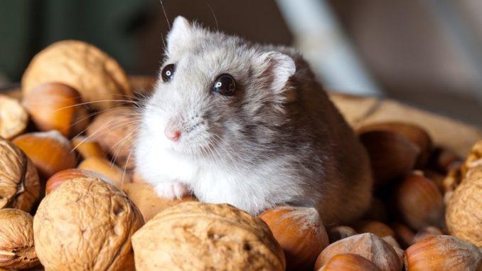 хомяк и орехи