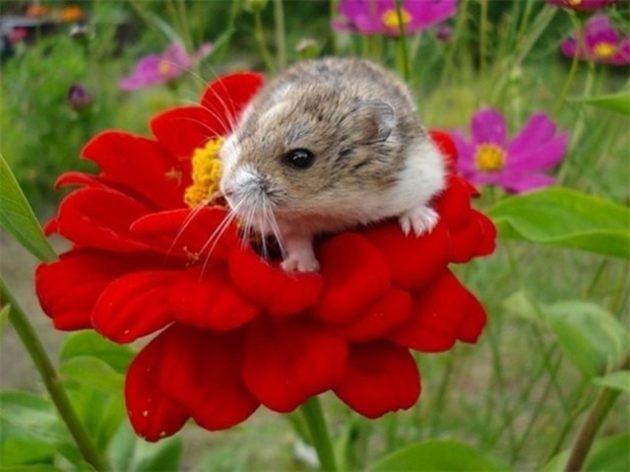 джунгарик на цветке