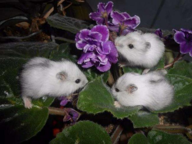 малыши джунгарских хомяков