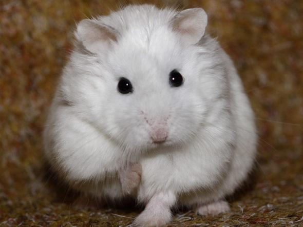 хомяк роборовского окрас белый