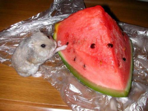 хомяк ест арбуз