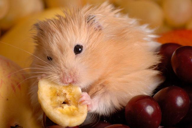 фрукты для хомяка