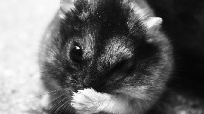 черно-белое фото хомяка